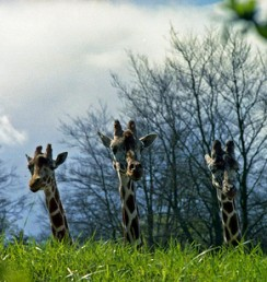 giraffes - Seattle's Woodland Park Zoo