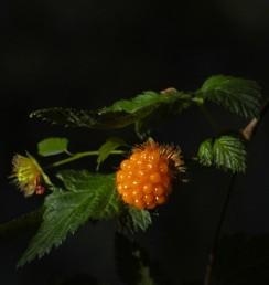 Salmonberry (Rubus spectabilis),