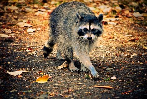 Raccoon - Pt Defiance Park, tacoma WA