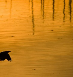 crow and golden sunrise