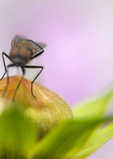 housefly macro