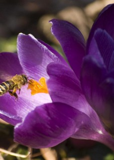 honey bee in crocus blossom