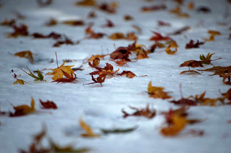leaves-on-snow