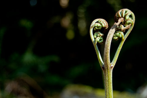 Bracken Fern Emerging