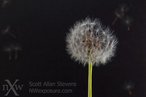Dandelion Detail #1 - ©Scott Allan Stevens