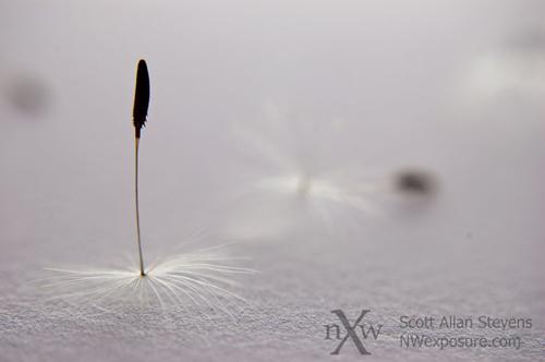 Dandelion Detail #3 - ©Scott Allan Stevens