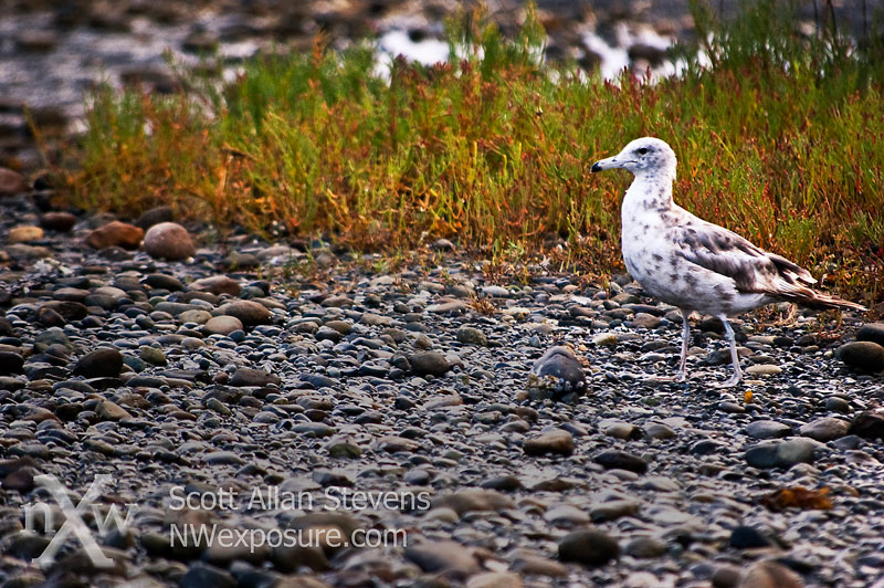 Early Bird - Gull on Beach
