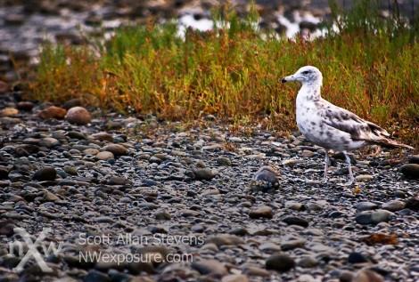 seagull at beach washington state
