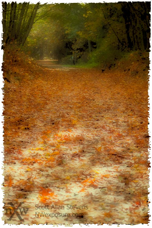 Autumn Big-leaf Maple leaves on path - Olympia, Washington State