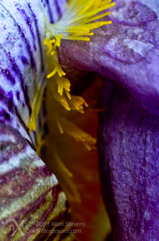 Iris Detail ©2012 Scott Allan Stevens