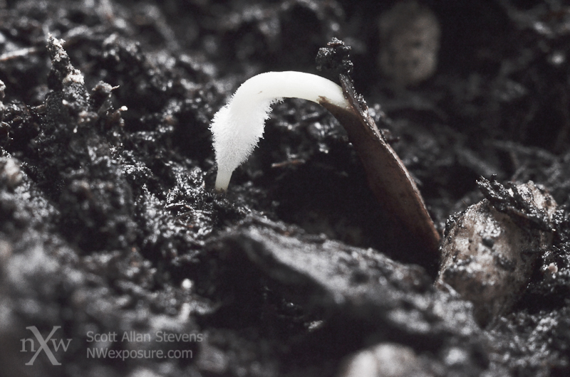 Seedling emerging ©2012 Scott Allan Stevens