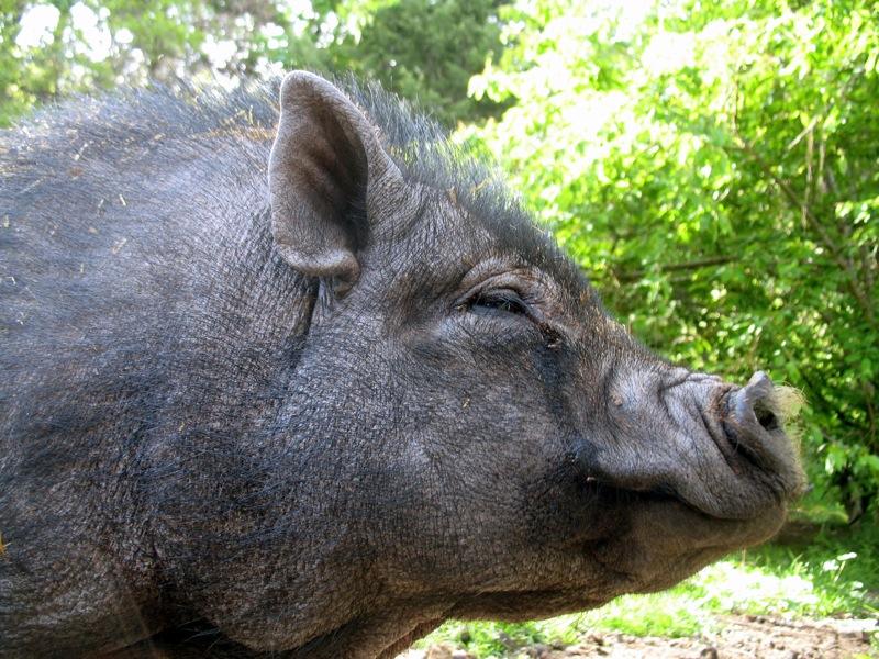 A Pig Named Pig