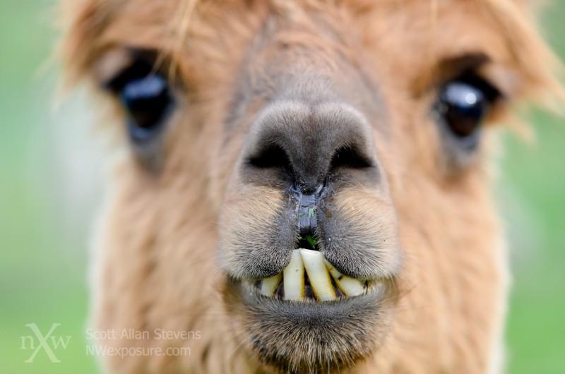 CCAR Alpaca face