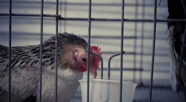 chicken in cage at county fair