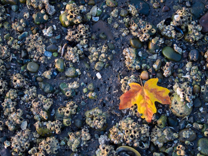 Rocky Beach & Big Leaf Maple Leaf
