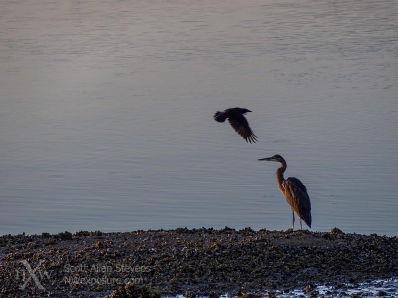 Heron with crow reflection
