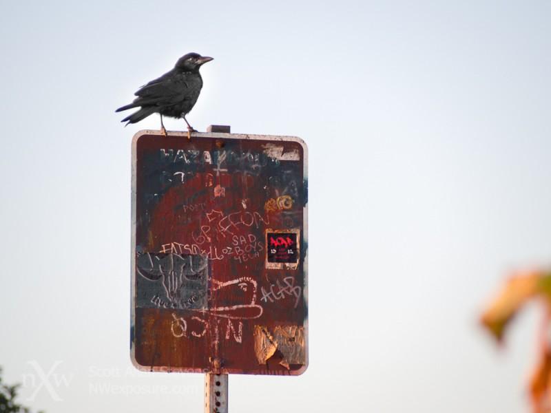 crow on sign