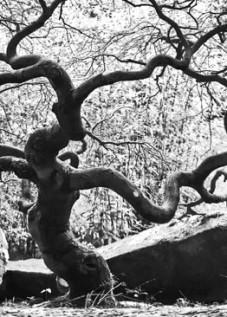 Yoshiro japanese maple tree