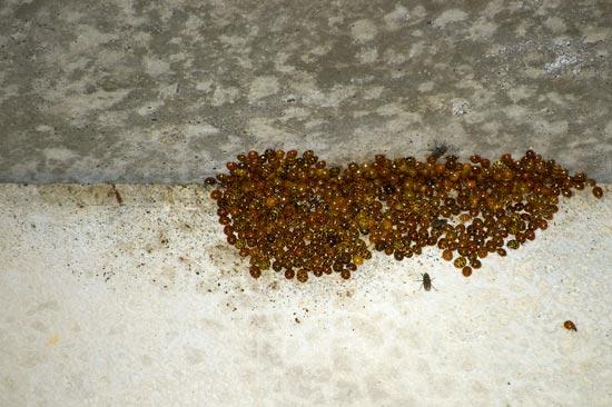 Satsop ladybugs