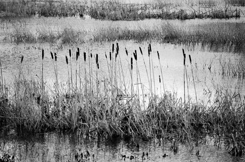 Cattails at Nisqually NWR