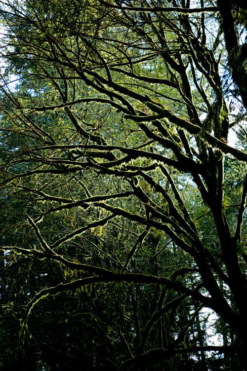 Mossy Limbs