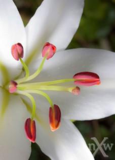white lily macro