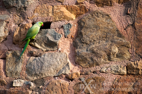 green parrot on red stone wall, Lodi Gardens, New Delhi, India