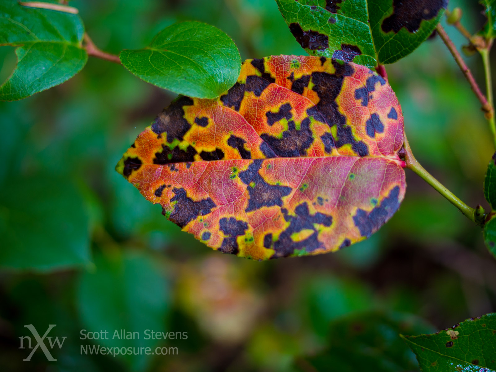 Autumn Salal