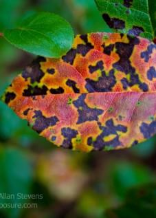 Autumn Salal leaf
