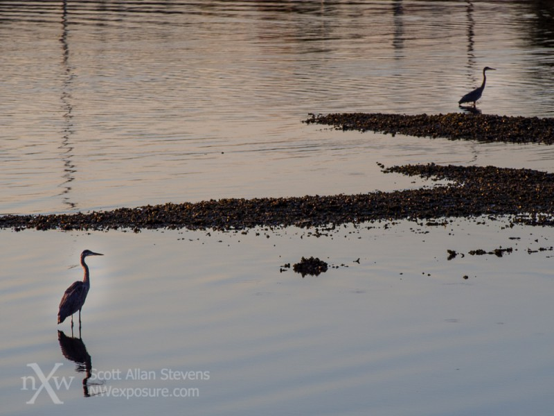 Great blue herons seeking breakfast