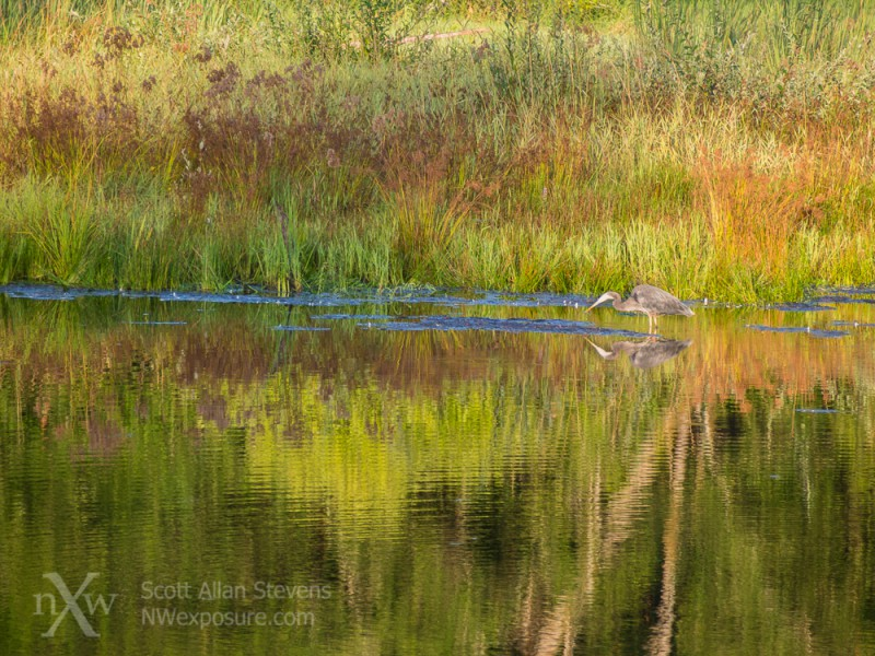 Great Blue Heron with colorful grasses, Capitol Lake